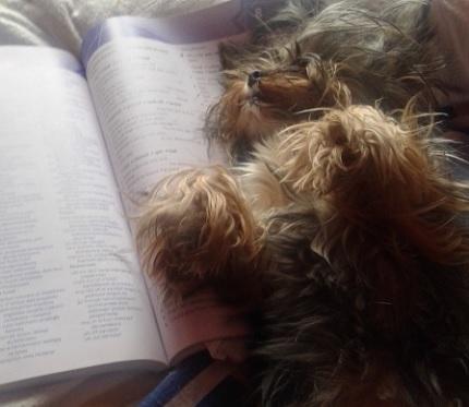 Yorkshire Terrier - właściciel Ania