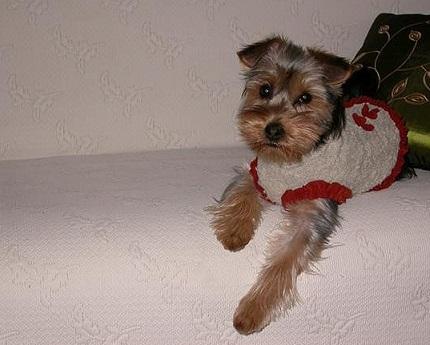 Yorkshire Terrier Coco - właściciel Ela