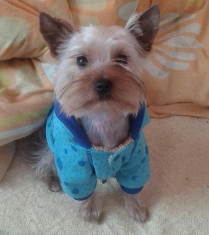 Yorkshire Terrier Roki - właściciel Kasia