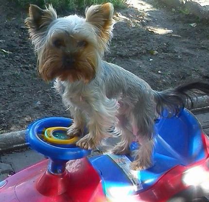 Roxi 13 miesiecy - yorkshire terrier Pana Mariusza