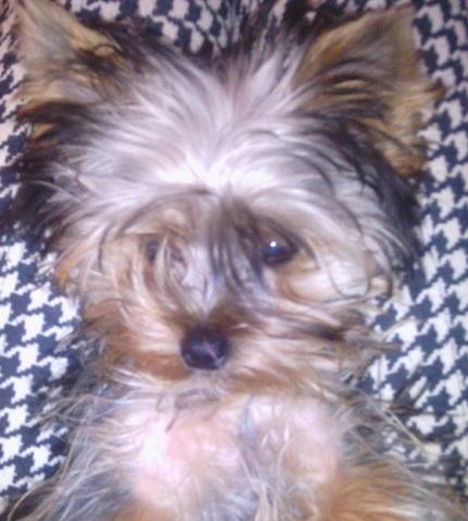 Yorkshire Terrier Fido - właściciel Patrycja