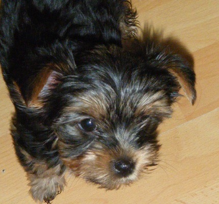 Yorkshire Terrier Kira - właściciel Kajunia
