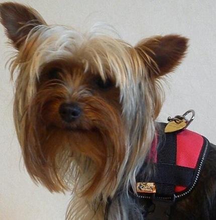 Yorkshire Terrier Farid - właścicielka Krystyna