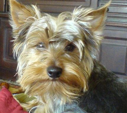 Yorkshire terrier Frida - właścicielka Krystyna (treść nie dotyczy zdjęcia)