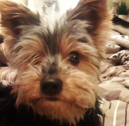 Yorkshire Terrier Demi - właściciel Daniel