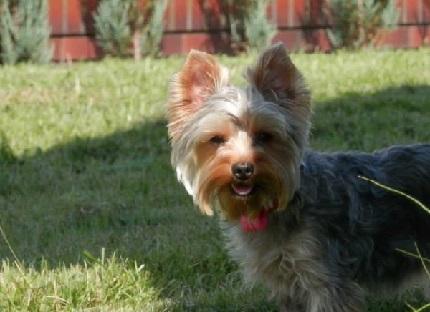 Yorkshire Terrier Buena - właścicielka: Magdalena