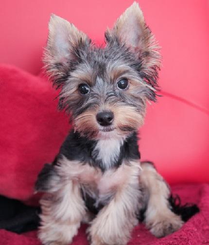 Yorkshire Terrier Majki - właściciel: Agnieszka (zdjęcie nie dotyczy treści)