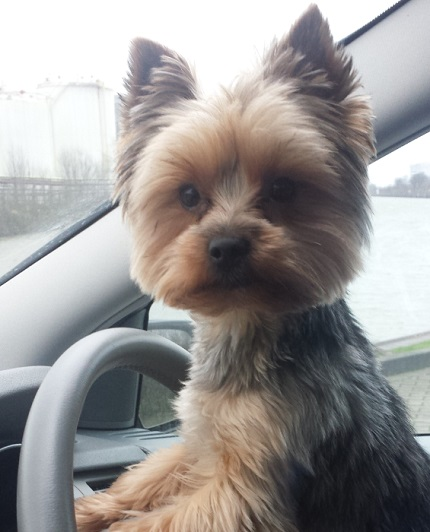 York Piesek Yorkshire Terrier