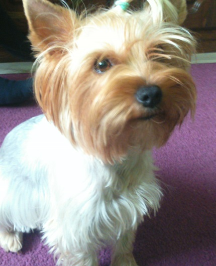 Yorkshire Terrier - właściciel Rafał (zdjęcie nie dotyczy treści)