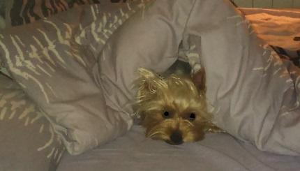 Yorkshire Terrier - właściciel Rafał