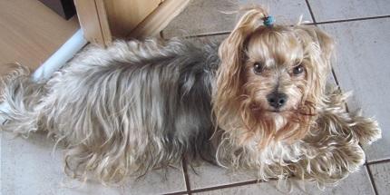 Yorkshire Terrier Dafi - właściciel Iwona