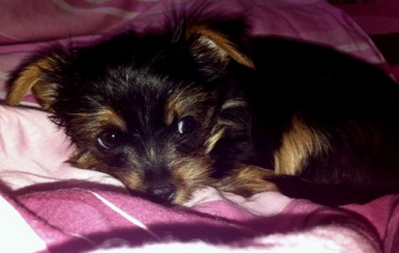 Yorkshire terrier Coco