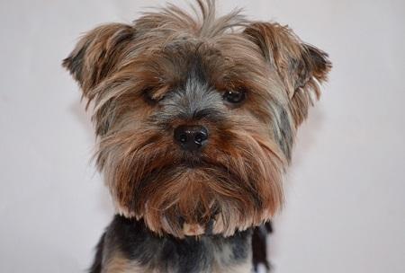 Yorkshire terrier Diko