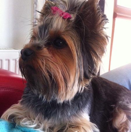 Yorkshire terrier Lidzia - właściciel Eliza