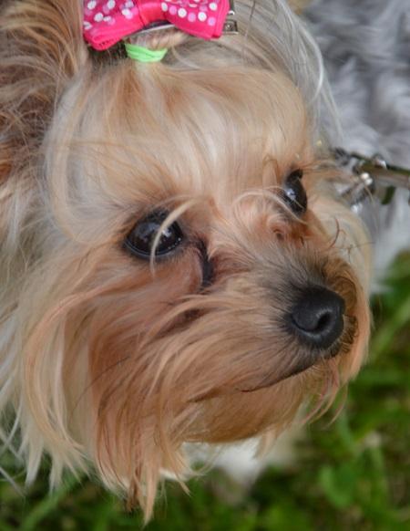 Yorkshire Terrier Sisi (1 rok i 10 miesięcy) - właściciel Julia