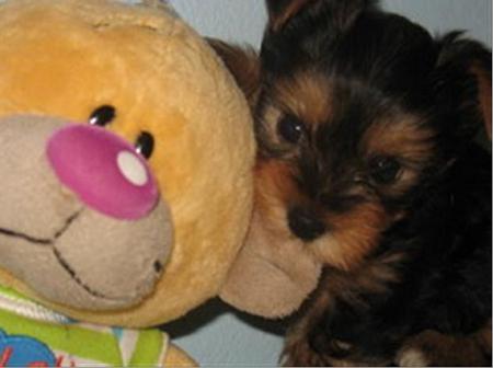Yorkshire terrier Bemol