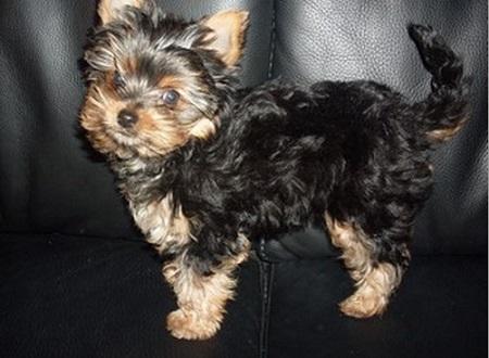 Yorkshire terrier Daisy