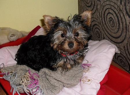 Yorkshire Terrier Emi