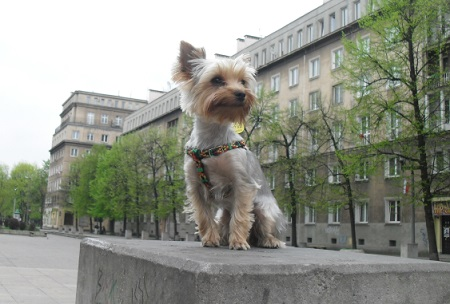 Yorkshire Terrier Emi