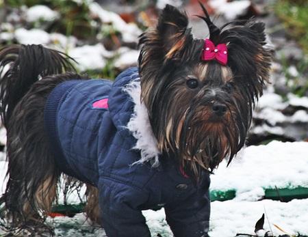 Yorkshire terrier Lili