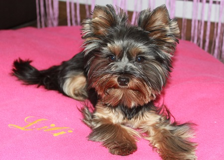 Yorkshire terrier Lili