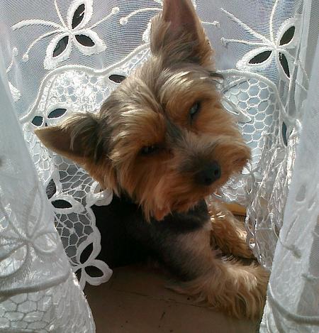 Yorkshire terrier Maks
