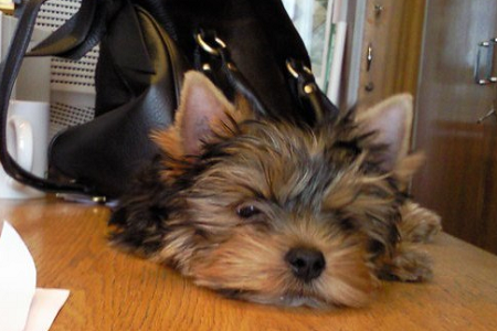 Yorkshire terrier Tito