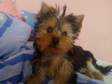 Yorkshire terrier Mika