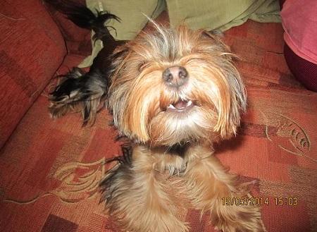 Yorkshire Terrier Nelunia