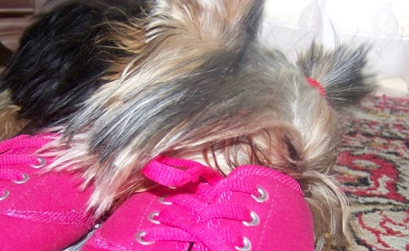 Yorkshire Terrier Nicky