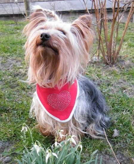 Yorkshire Terrier Papi