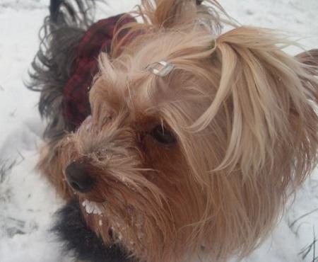 Yorkshire Terrier Papi