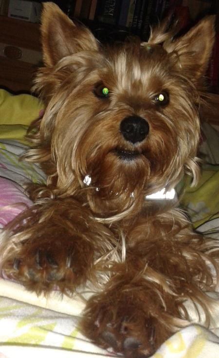 Pies york Daisy - właściciel Martyna