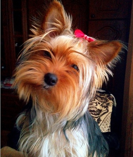 Pies york Dorcia (3 lata) - właściciel Joanna