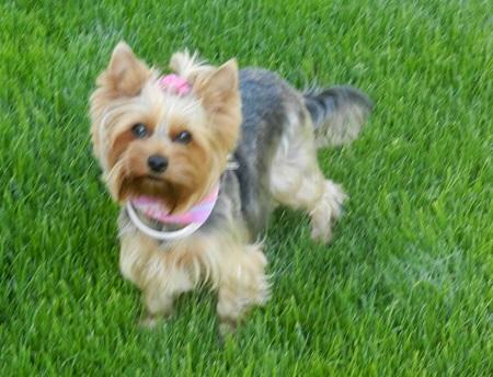 Yorkshire Terrier Lili - podesłała Ela