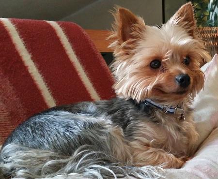 Yorkshire Terrier Pusiek - właściciel Damian