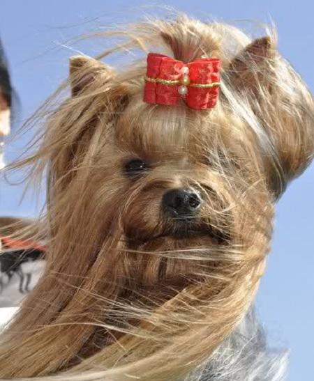 Yorkshire Terrier Fryzury Yorkshire Terrier
