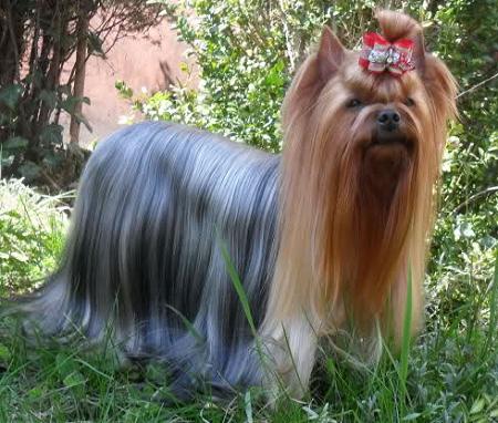 Yorkshire terrier Pusio