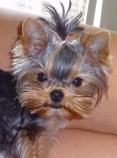 Yorkshire Terrier Suzi - właścicielka Justyna