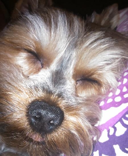 Yorkshire Terrier - właściciel Magdalena