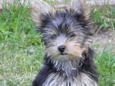 Yorkshire Terrier Tobi
