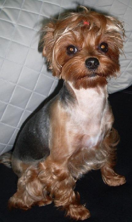Yorki Fryzury Yorkshire Terrier