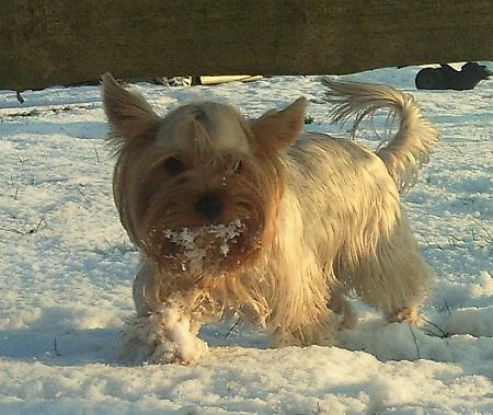 Yorkshire Terrier Sissi - właściciel Dorota
