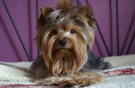 Yorkshite terrier