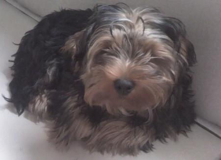 Yorkshire terrier Figo