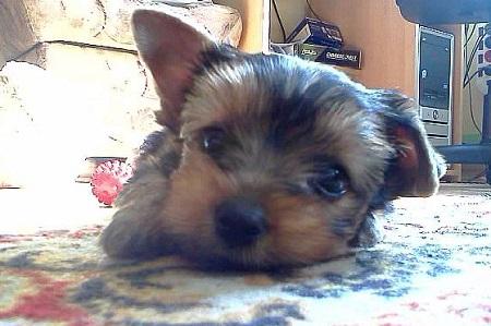 Yorkshire terrier Rocky