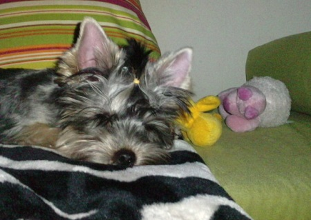 Yorkshire terrier Dixy