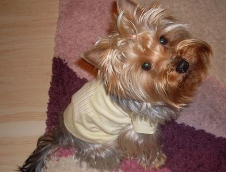 Yorkshire terrier Haps