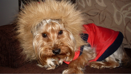 Yorkshire terrier Haps