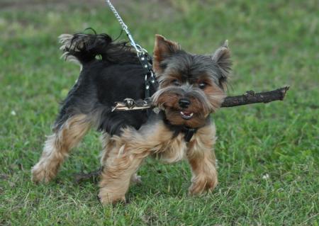 Yorkshire terrier Olek